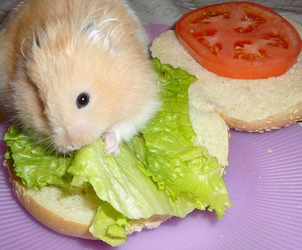 Хомяк ест салат