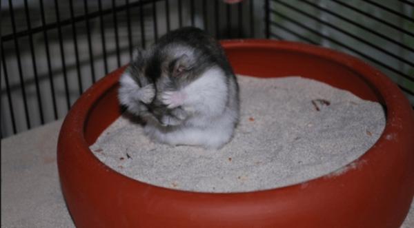 Хомяк умывается в песке