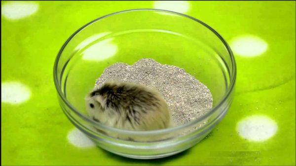 Хомяк в песке