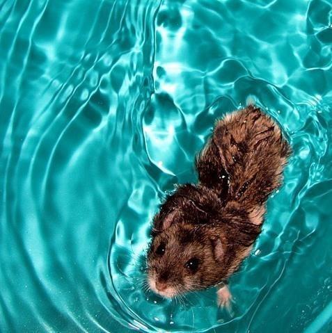 Хомяк в воде