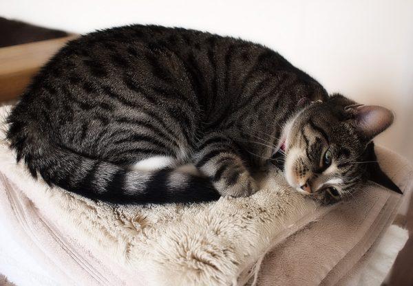 Кошка на подстилке