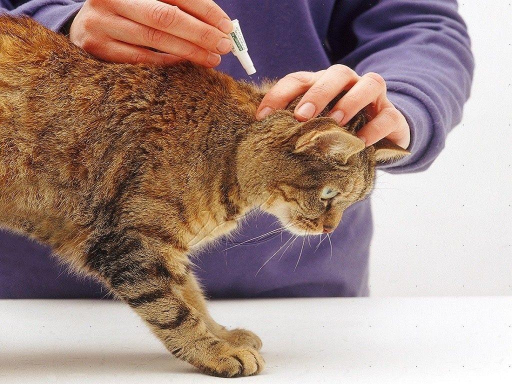 Как победить насекомых-паразитов: капли от блох и клещей для кошек Барс