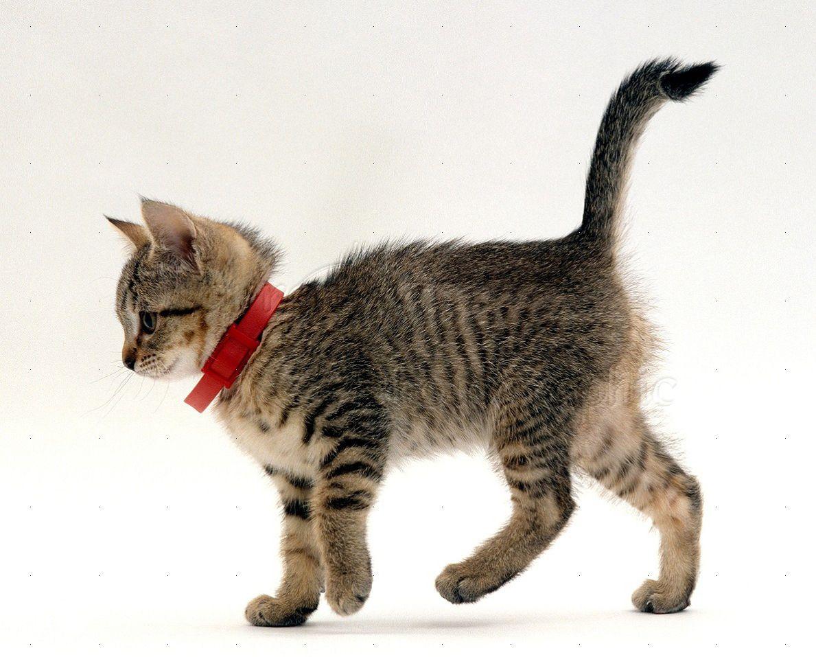кошка в ошейнике от блох