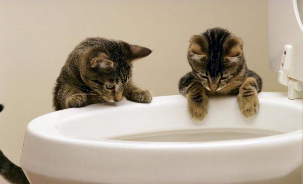 Коты смотрят в унитаз