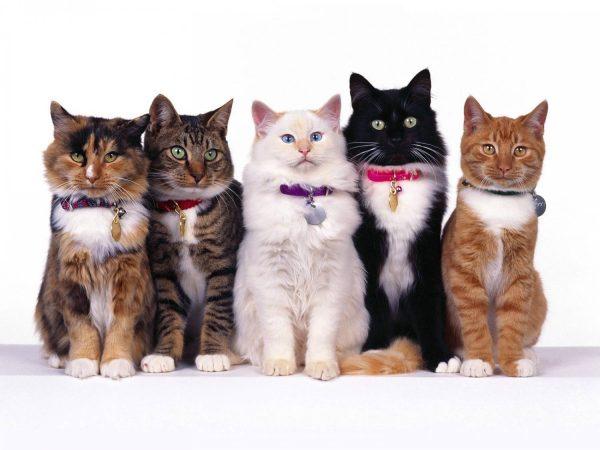 Коты в ошейниках