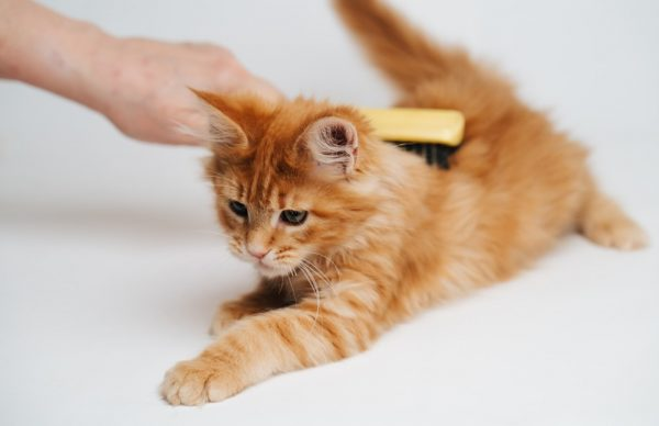 Расчёсывание котёнка
