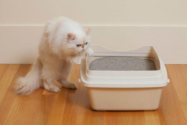 Взрослая кошка и лоток