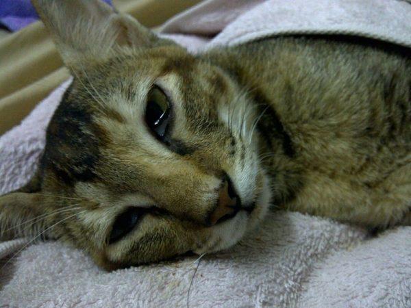 Кошка лежит с болезненным видом