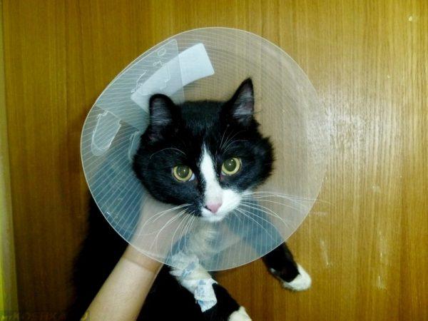 Кошка в шейном воротнике