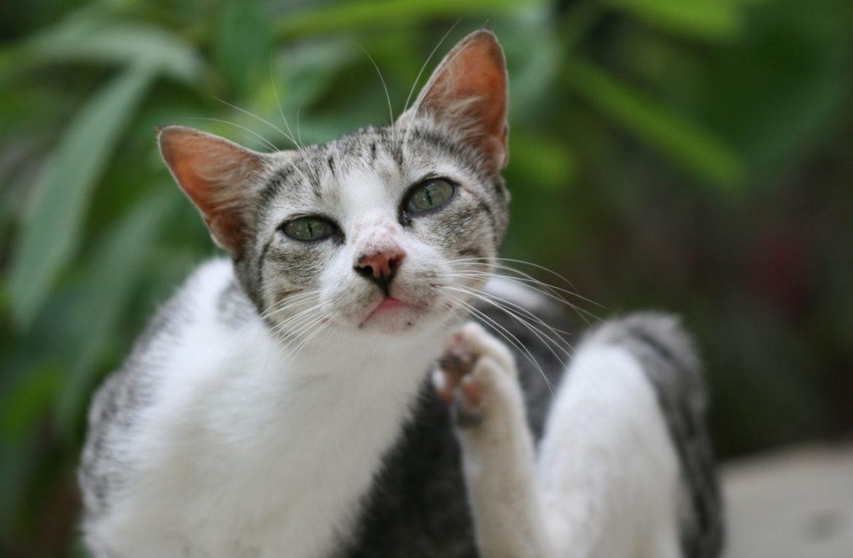 Спреи от блох для кошек: свойства и инструкция по применению