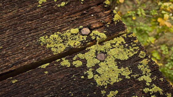 Жёлтая плесень на древесине