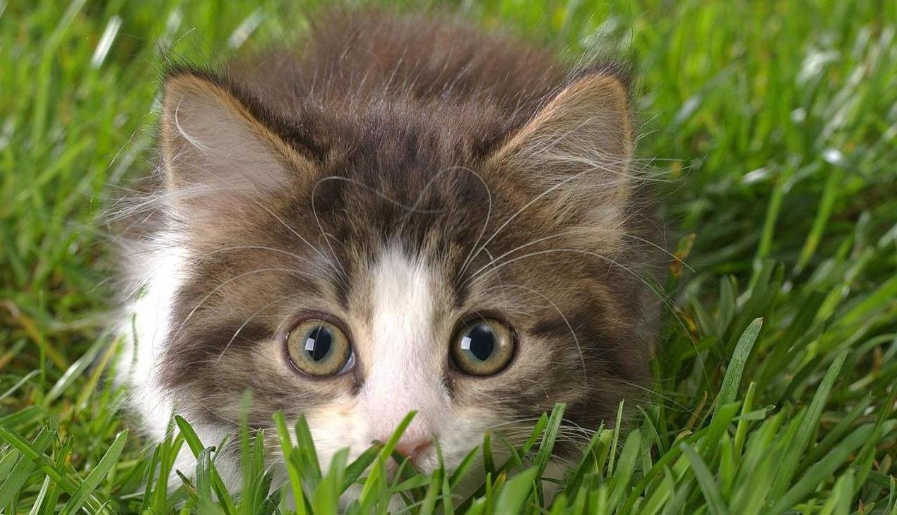 Народные средства для борьбы с блохами у кошек