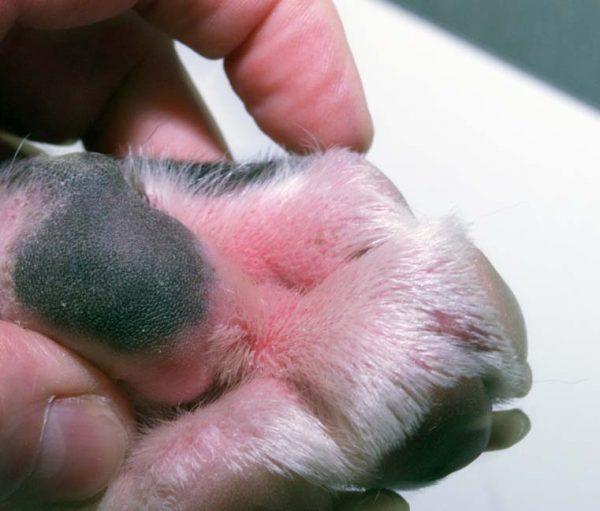 Покрасневшая подушечка лапы у собаки