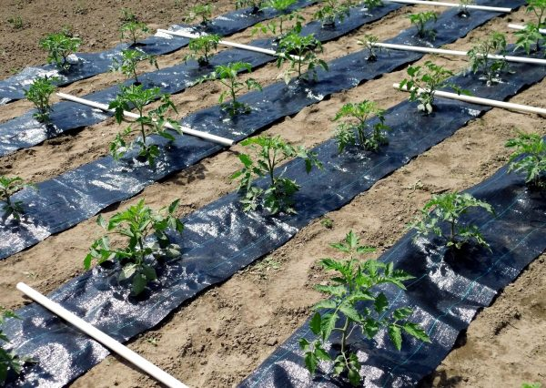 Агрополотно на огороде