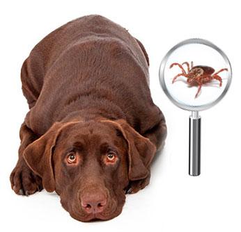 Как достать клеща у собаки: способы, ошибки, лайфхаки